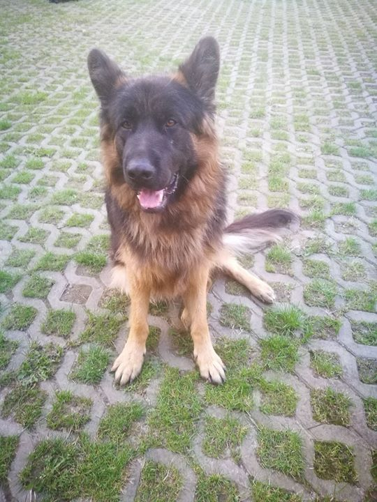 Zaginął 2-letni owczarek niemiecki. Ma na imię Ali i jest bardzo przyjaźnie nastawiony do…