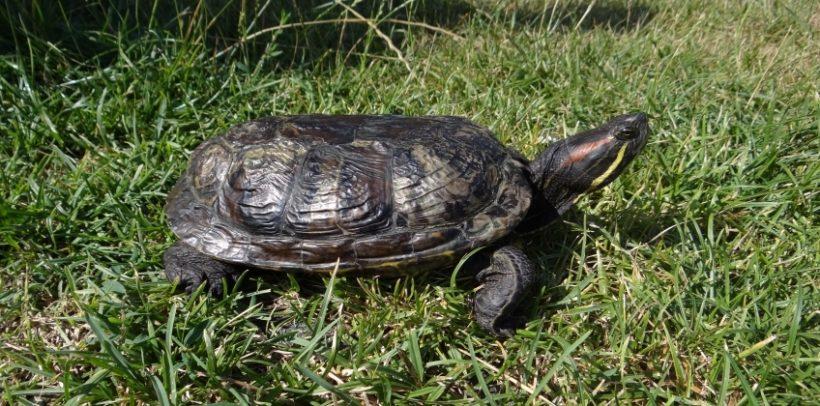 W poniedziałek 22 lipca Straż Miejska została powiadomiona przez mieszkankę Puław o znalezieniu żółwia…